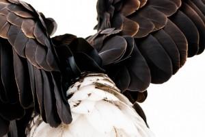 plumage-1728702_640