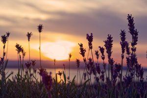 夕日とラベンダー