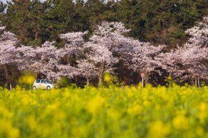 菜の花と桜と車